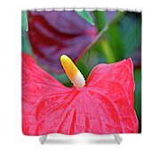 Red Anthurium Flower Shower Curtain