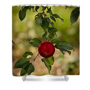 Red Apple Ready For Picking Shower Curtain