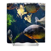 Red Bellied Piranha Fishes Shower Curtain