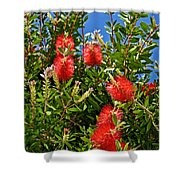 Red Bottlebrush At Pilgrim Place In Claremont-california Shower Curtain