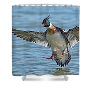 Red-breasted Merganser Landing Shower Curtain