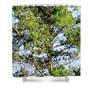 Red Cardinal In Tree Shower Curtain