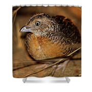 Red-chested Button-quail Shower Curtain