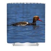 Red-crested Male Pochard Duck, Netta Rufina Shower Curtain