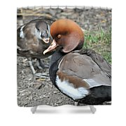 Red Crested Pochard Duck Shower Curtain