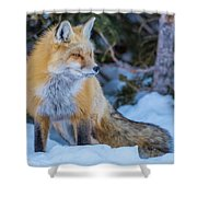 Red Fox At Dawn In Winter Shower Curtain