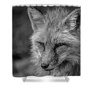 Red Fox In Black And White Shower Curtain