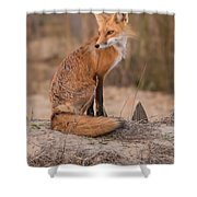 Red Fox In Pose Shower Curtain