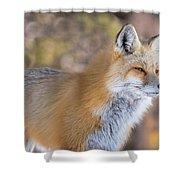 Red Fox In Winter Glow Shower Curtain