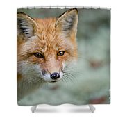 Red Fox Pictures 146 Shower Curtain