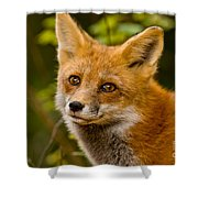 Red Fox Pictures 155 Shower Curtain