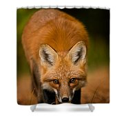 Red Fox Pictures 161 Shower Curtain