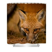 Red Fox Pictures 162 Shower Curtain