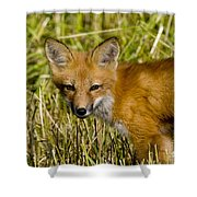 Red Fox Pictures 34 Shower Curtain