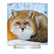 Red Fox Pictures 98 Shower Curtain