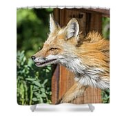 Red Fox Vixen On The Hunt Shower Curtain