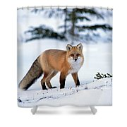 Red Fox Vulpes Vulpes Portrait Shower Curtain