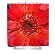 Red Gerber Daisy Shower Curtain