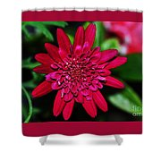 Red Gerbera Daisy Shower Curtain