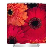 Red Gerbers Shower Curtain