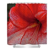 Red Hippeastrum Charisma Shower Curtain