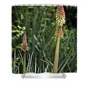 Red Hot Poker Bloom Shower Curtain