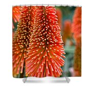Red-hot Poker Flower Kniphofia Shower Curtain