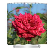 Red Intuition Hybrid Tea Rose, Red Stripe Rose Originally Pr Shower Curtain
