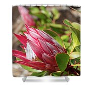 Red King Protea Bud Shower Curtain