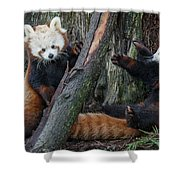 Red Panda Cubs At Play Shower Curtain