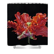 Red Parrot Tulip - Oils Shower Curtain