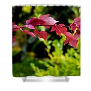 Red Red Maple Leaves Shower Curtain