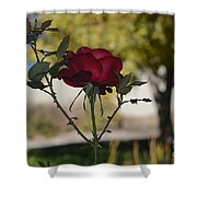 Red Rose 1 Shower Curtain