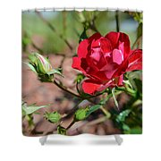 Red Rose And Buds Shower Curtain