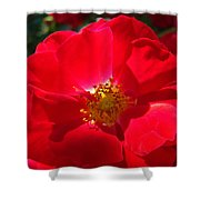 Red Rose Art Print Sunlit Roses Botanical Giclee Baslee Troutman Shower Curtain