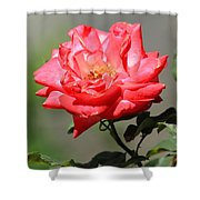 Red Rose On A Bush Shower Curtain