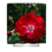 Red Rose With Buds Shower Curtain