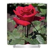 Red Rose With Stem Shower Curtain