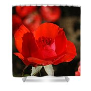 Red Rosebud Opening Shower Curtain