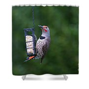 Red-shafted Northern Flicker On Suet Shower Curtain