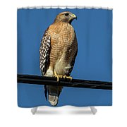 Red-shoulder Hawk Shower Curtain