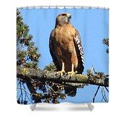 Red Shouldered Hawk Shower Curtain