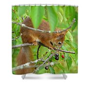 Red Squirrel In The Cherry Tree Shower Curtain