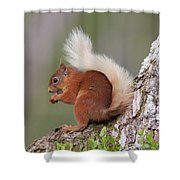 Red Squirrel On Tree Shower Curtain