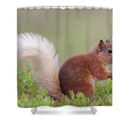 Red Squirrel Pauses Shower Curtain