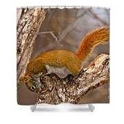 Red Squirrel Pictures 145 Shower Curtain