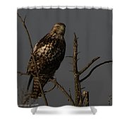 Red-tail Hawk 2 Shower Curtain