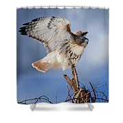 Red Tail Hawk Perch Shower Curtain