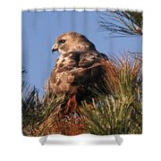 Red Tail In The Pines Shower Curtain