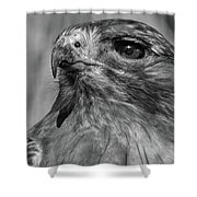 Red-tailed Hawk 2 Shower Curtain